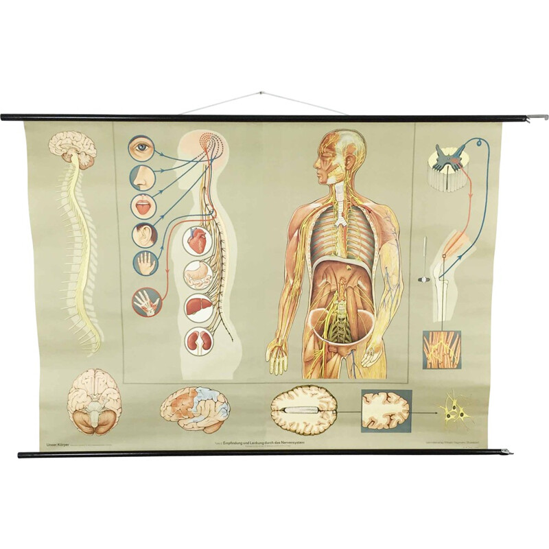 "XXL ""Neurological system"" educational chart, Jung Koch QUENTELL - 1960s"