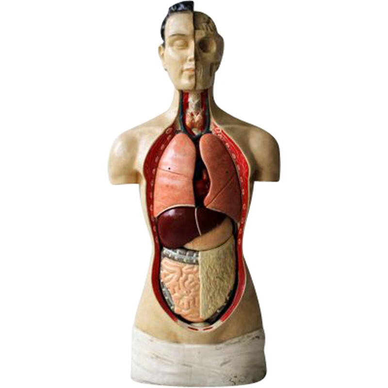 Vintage anatomical model by Phywe, 1950s