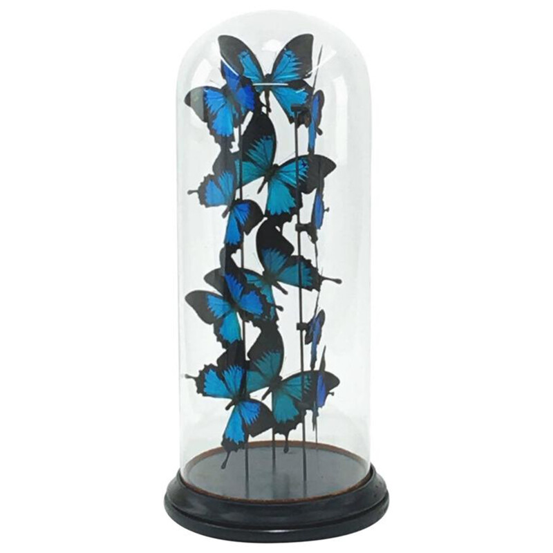 Butterflies Ulisses flight under a glass globe - 1950s