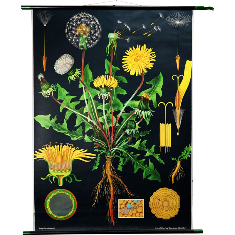 Vintage Dandelion biological chart by Jung-Koch-Quentell for Hagemann, 1960s