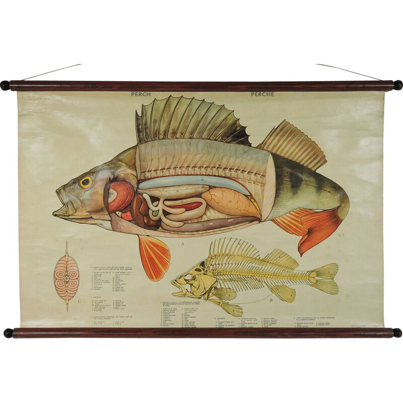 Vintage wall poster, fish anatomy 1970s
